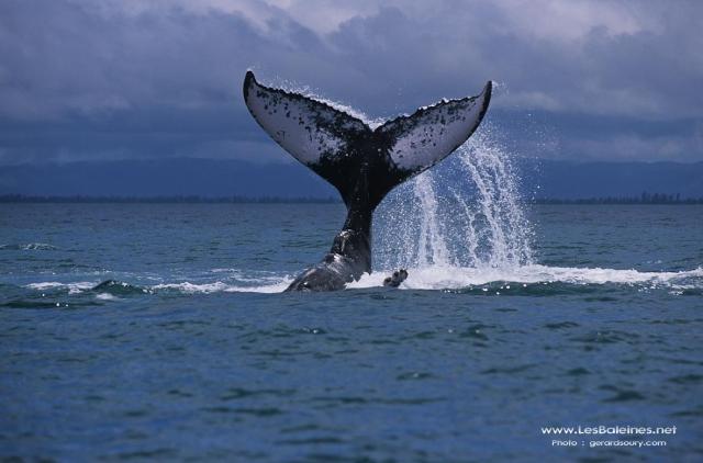 baleine en plongée guadeloupe